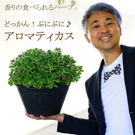 どっかん!ぷにぷに♪香りの食べられるハーブ アロマティカス 9号大鉢植え 次々と脇芽が出てきて良く育つ!多肉植物 多年草【ラッピング・メッセージカード不可】