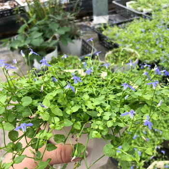 宿根ミニロベリアブルーニンフ3.5寸6苗セット送料無料小さな庭花苗四季咲きグランドカバーほふく性