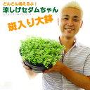 【送料無料】涼しげセダムちゃん(多肉植物)8号大鉢(直径24センチの鉢) 斑入り ズボラな人に向いてます!室内でも…