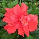 楽天市場 夏の花 ハイビスカス特集 ゲキハナ 感激安心のお花屋さん