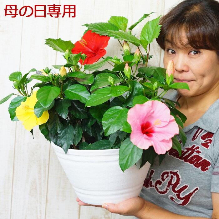 母の日 ギフト プレゼント 花 鉢植え 珍しい 長く咲く!どっかん!「大きなハイビスカス」3色寄せ植え 9号鉢