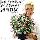 【7月下旬ご予約先着順出荷】【送料無料】姫サルスベリ(百日紅)9号猛暑に咲きまくる!長く咲きまくる!暑さに強い夏鉢植え毎年咲く花【同梱・ラッピング不可】