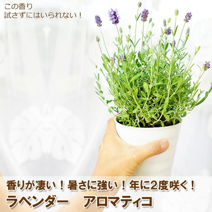 【お得な2鉢セット】2度咲くラベンダー アロマティコ 5寸(いつもより一回り大きな直径15センチの鉢)鉢植えの苗香りが普通のラベンダーより強いんですよ!宿根草【ラッピング・メッセージカード不可】