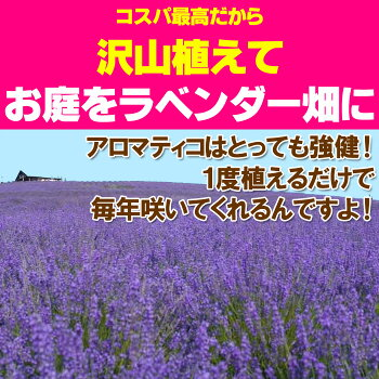 【お得な2鉢セット】2度咲くラベンダーアロマティコ5寸鉢植えの苗香りが普通のラベンダーより強いんですよ!宿根草【ラッピング・メッセージカード不可】