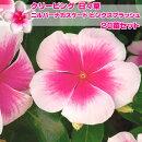 日々草ニルバーナカスケードピンクスプラッシュ3.5寸20苗セット送料無料花苗苗セット福袋季節の花苗