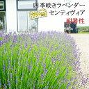 四季咲き イングリッシュ ラベンダー センティヴィア ラッピング・メッセージカード