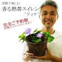 熱帯スイレン 睡蓮 鉢 送料無料 6号素焼き防水鉢 植え込み済み 品種:ティナ 花色:ブルー 連続開花性に優れワンシーズンで50本から100本咲きます!