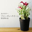 【送料無料】氷のカラーフローズン・クイーン5号日本初公開新品種!育て方に特徴があるため、ギフトには向きません。