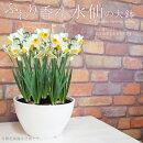 【送料無料】鉢植え花ふわり香る日本水仙の大鉢8寸寄せ毎年咲く!地植えもOK!(玄関前の軒下などにも置けます)【RCP】