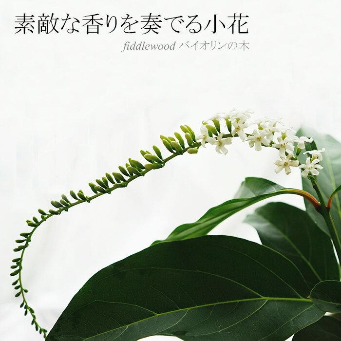 【送料無料】素敵な香りを奏でる小花 バイオリンの木 fiddlewood 6号【ラッピング・メッセージカード不可】