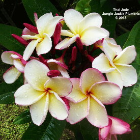 プルメリア 苗 タイジェイド Thai Jade 5寸 1鉢 苗木 産地直送 タイのジャングルジャックス社の信頼のブランドです! 鉢植え 未開花株 ハイワイアンレイフラワー フランジパニ