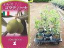 送料無料 オリーブ コラティーナ 6寸 5鉢セット オリーブの木 苗木 鉢植え【ラッピング・メッセージカード不可】【…