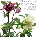 八重咲き クリスマス クイーン 組み合わせ ラッピング・メッセージカード