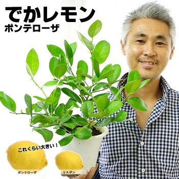 【送料無料】花付きでお届け!でかレモン!大きな果実のポンパドール5号鉢(植え植込み用)