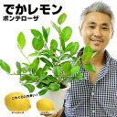 【送料無料】でかレモン!大きな果実のポンテローザ 5号鉢(植え込み用) 2年生 希少種 大実 四季なり 四季咲き