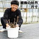 【送料無料】親株の牡丹と中国牡丹 尺寸(10号 30センチの鉢) 超大株 ボタン ぼたん 倚緑(きりょく) 扶桑司 オリエンタルゴールド…