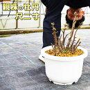 親株の牡丹尺二寸(12号36センチの鉢)