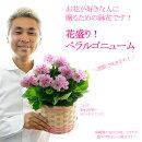 【送料無料】花盛り!ぺラルゴニューム5号(直径15センチ)鉢お花が好きな人に贈るための鉢花です!【バスケット付き・メッセージカード可能】※画像よりもお花は少な目で届きます。長く楽しんで欲しいので。
