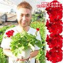 【産地直送で新鮮そのもの!】【送料無料】【2鉢セット】よく咲くゼラニウム 赤 カリオペ ダークレッド 5号 こんもり…