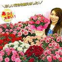 母の日 遅れてごめんね カーネーション プレゼント ギフト 花 鉢植え 5号 上質ボリュームたっぷり 関東送料無料
