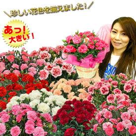母の日 カーネーション プレゼント ギフト 花 鉢植え 5号 上質ボリュームたっぷり 関東送料無料