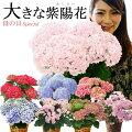 【50代女性】花好きの方へのお礼に!喜ばれるあじさいギフトを教えて!【予算5000円】