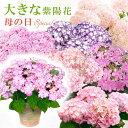 送料無料 2021母の日ギフト あじさい プレゼント 花 鉢植え 「大きな」感動の紫陽花(アジサイ)5号鉢 ダンスパーティ…