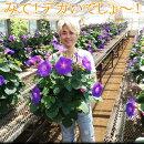 【送料無料】でっかい琉球あさがお(朝顔アサガオ)6寸1鉢3980円宿根するから毎年咲きます!昼間も咲いちゃうスーパーあさがお!ブルーが涼しげ!