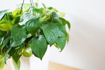 3色植えのポトスポトス7寸観葉植物室内用吊り下げハンギングインテリア送料無料【ラッピング・メッセージカード不可】