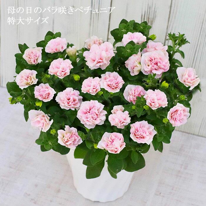 母の日 ギフト プレゼント 花 鉢植え 珍しい 八重咲き ペチュニア ヴァンサンカン さくらヴェール 寄せ植え