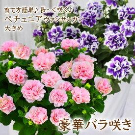 母の日 豪華!バラ咲きペチュニア ヴァンサンカン 全2色 さくらヴェール ブルーピコティ 6号鉢植え ギフト プレゼント お花