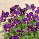 【送料無料】ふりっふり!ビオラフリル咲きファルファリア花壇をセンス良く飾るためのビオラですよ!松原園芸育種交配No22【メッセージカード・ラッピング不可】