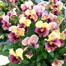 【送料無料】ふりっふり!ビオラフリル咲きファルファリア花壇をセンス良く飾るためのビオラですよ!松原園芸育種交配No7【メッセージカード・ラッピング不可】