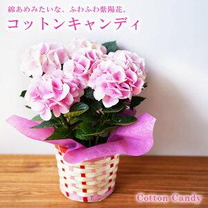 送料無料 2021母の日ギフト お花 プレゼント 鉢植え かわいい 綺麗な 紫陽花 アジサイ ピンク コットンキャンディ 鉢植え 義母 珍しい 60代 70代