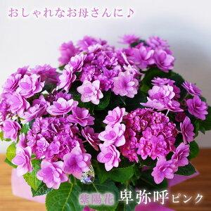 送料無料 2021母の日ギフト お花 プレゼント 鉢植え かわいい 綺麗な 紫陽花 アジサイ 紫 卑弥呼ピンク 鉢植え 義母 珍しい 60代 70代