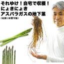 【送料無料】初心者さんOK!それゆけ!自宅で収穫!にょきにょき「アスパラガスの地下茎」いわゆる苗です。鉢でも庭でも!初心者さんで…