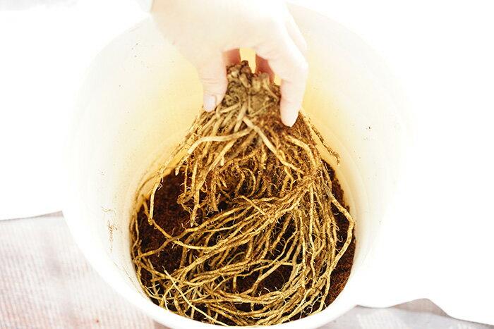 【送料無料】 【アスパラガス植え込み依頼】植え込み手数料+鉢代+土代+送料の合計(アスパラガスの地下茎は別途お求めください)