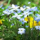 【3月咲き】球根ハナニラウィズレーブルー10球セット秋植えで春に花咲く清楚で可愛いお花です!年を重ねるごとに分球して群生します!【メール便限定送料無料】【初心者OK】