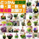 どっかん定期便!春・夏・秋・冬の年4回、厳選した大鉢のお花をお届けします!