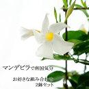 【送料無料】マンデビラデプラデニア2鉢セット!お好きな花色でお届けします!南国気分満喫!サンパラソルはサントリーの登録商標ですので、これとは違います。【ラッピング・メッセージカード不可】
