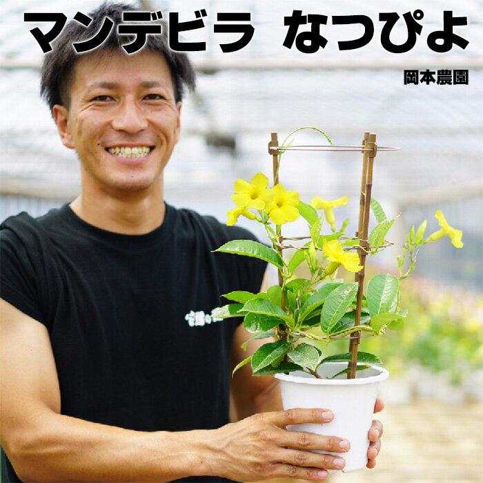 【送料無料】マンデビラ デプラデニア 黄色 なつぴよ 5号 希少です!マンデビラとサンパラソルは似てるけど別のものです。 耐暑性 暑さに強い 夏の花 鉢植え【ラッピング・メッセージカード不可】