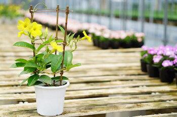 【送料無料】マンデビラデプラデニア黄色なつぴよ5号希少です!マンデビラとサンパラソルは似てるけど別のものです。耐暑性暑さに強い夏の花鉢植え【ラッピング・メッセージカード不可】