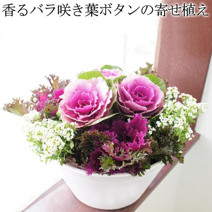 【送料無料】ちょっと高級♪かなり上質!香るバラ咲き葉ボタン(葉牡丹)の寄せ植え プラチナケールが輝く上質なバラ咲きは日陰でもずっと綺麗!【ラッピング・メッセージカード不可】