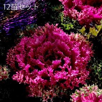 【送料無料】切れ葉チリメン系グローシーレッド3.5寸12苗セット