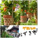 【送料無料】ゲキハナのほおずき市!「ほおづき鉢植え風鈴のおまけつき!」 ホオズキを買って四万六千日分のお参りの…