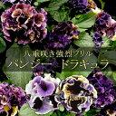 【数量超限定・お1人様2セットまで】パンジー ドラキュラMIX 6苗セット 送料無料 強烈なフリルの八重咲き!アンティー…