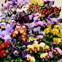 ビオラ ヌーヴェルヴァーグMIX 6苗セット 送料無料 アンティークな花色の超絶レアな品種です!(ヌーベルバーグ)花苗