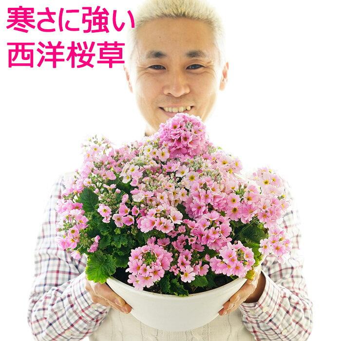 【送料無料】寒さに強い!西洋桜草 寄せ植え 贈りものにも!自分用にも!【ラッピング・メッセージカード不可】