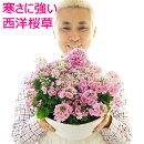 【送料無料】寒さに強い!西洋桜草寄せ植え贈りものにも!自分用にも!【ラッピング不可】【メッセージカード可】