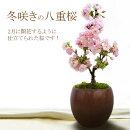 【白い鉢(陶器)でのお届け】冬咲きの八重桜盆栽プレゼント(一才桜旭山)2月に開花するように仕立てられたサクラ(さくら)です!開花直前の苗木をお届けします!もちろん陶器鉢仕立て!【メッセージカード・ラッピング可能】◆2/13現在まだ開花しておりません。◆